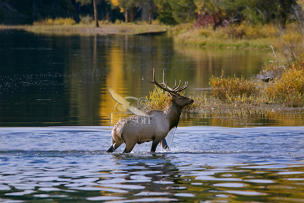 Rocky Mountain Bull Elk (Cervus elaphus) wading river.  Rocky Mountain area.  Fall.