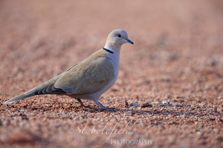 Eurasian Collared-Dove (Streptopelia decaocto decaocto) foraging in Papago Park in Phoenix, Arizona.