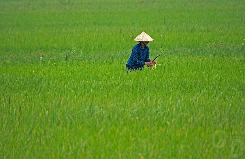 Women in the Rice fields near Ninh Binh, Northern Vietnam.