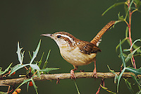 Carolina Wren, Thryothorus ludovicianus, adult on Agarita (Berberis trifoliolata), Uvalde County, Hill Country, Texas, USA, April 2006