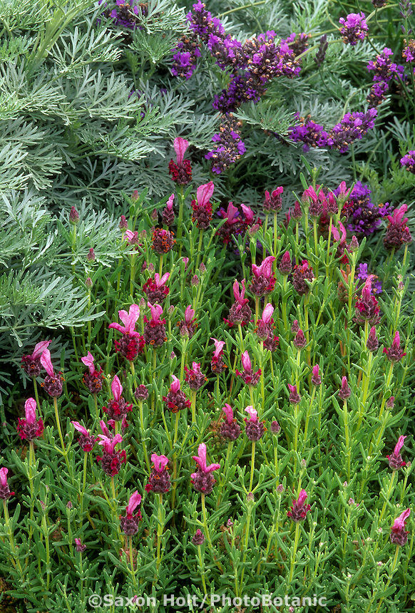 Lavenders - Lavandula stoechas 'Madrid Pink' with Lavandula x intermedia 'Grosso' and Artemisia flowering in drought tolerant garden