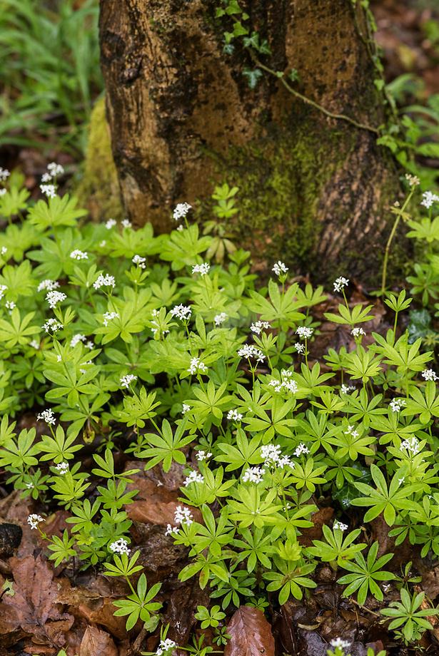 Lievevrouwebedstro (Galium odoratum)