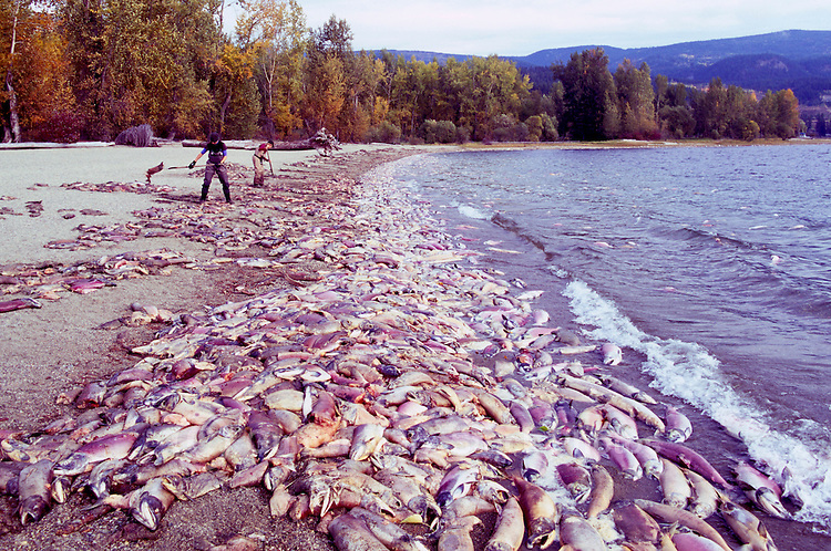 Annual Adams River Sockeye Salmon Run (Oncorhynchus nerka), Roderick Haig-Brown Provincial Park near Salmon Arm, BC, British Columbia, Canada - People cleaning up Dead Fish rotting along Shore of Shuswap Lake