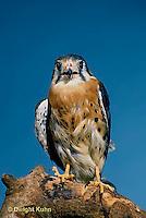 HK01-018z  Sparrow Hawk - Falco sparverius