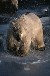 Polar bear shaking off water