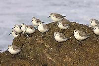 Sanderlings, Carmel Bay CA