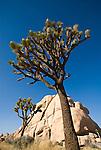 Blooming joshua tree and quartz monzonite rock, Joshua Tree National Park,