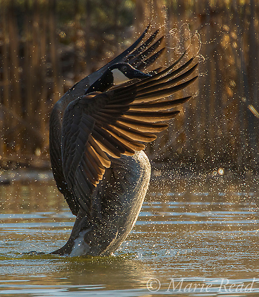 Canada Goose (Branta canadensis) flapping its wings, backlit, Ithaca, New York, USA