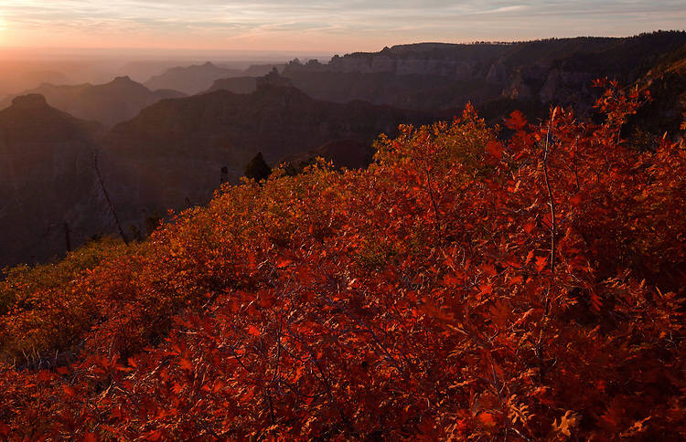 A hillside of gambel oak overlooks Alsap Butte near the Ken Patrick Trail on the North Rim of the Grand Canyon