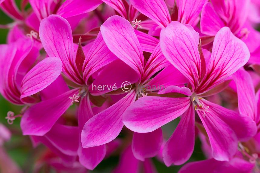 Géranium lierre ou géranium des balcon, Pelargonium peltatum //  ivy-leaf geranium or cascading geranium, Pelargonium peltatum