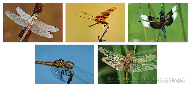 """Boxed set of 10 Dragonfly note cards (folded, blank inside), 2 of each of the pictured images, and 10 blank, white envelopes. To purchase, click on image until a """"Buy"""" button appears above the image."""