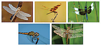 Dragonfly Note Card set