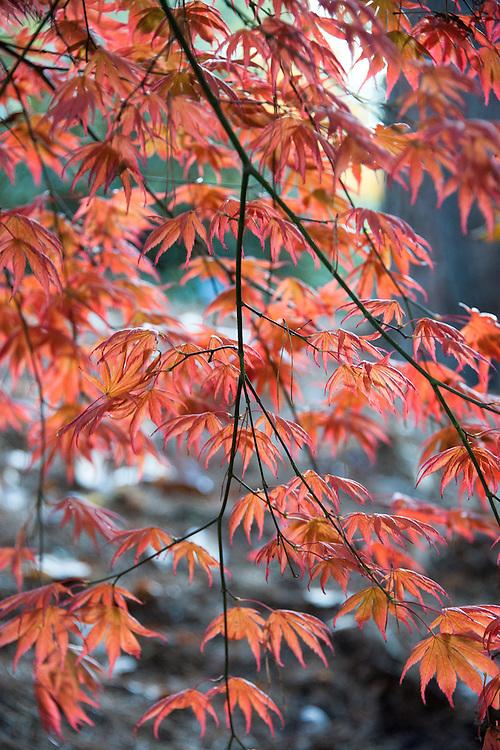 Autumn foliage of Acer palmatum 'Trompenburg', early November.