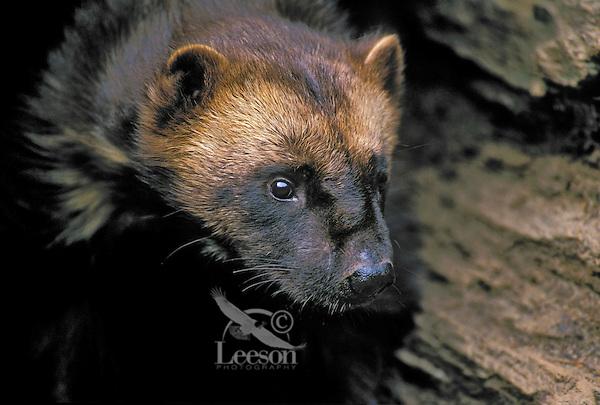 Wolverine (Gulo gulo), summer, Rocky Mountains, North America.