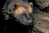 Wolverine (Gulo gulo), summer, Rocky Mountains, North America.
