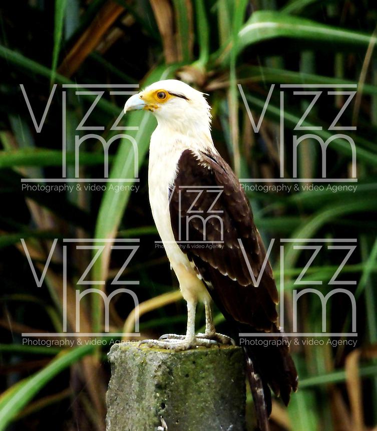Palmira - COLOMBIA, 30-06-2016: Pigua, especie de ave presente en Palmira, en el departamento del Valle del Cauca. / Pigua, bird species present in Palmira, Valle del cauca Department. Photo: VizzorImage / Dario Ramirez / Cont.