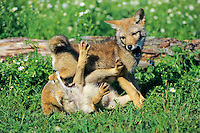 Coyote (Canis latrans) pups at play.  Northcentral USA..summer.
