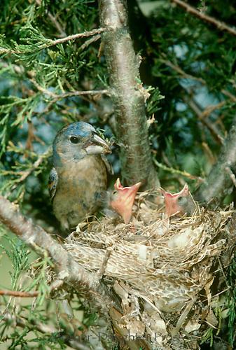 Blue Grosebeak mother, Passerina caerulea, brings food to two nestlings in unusual  nest -- straw and snakeskin in evergreen tree.