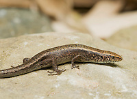 Four-fingered skink, Carlia sp., from the Ermera district of Timor-Leste (East Timor).