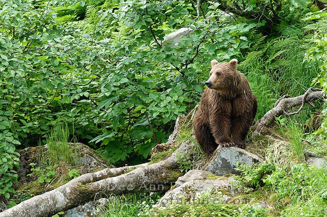 Redoubt Bay, Alaska, Brown Bear
