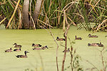 Damon, Texas; a flock of Blue-winged Teal ducks swimming on the surface of a green algae filled slough on an early morning overcast day