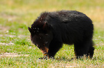 Black Bear Cub Smelling Daisy, Roosevelt Lodge, Yellowstone National Park, Wyoming
