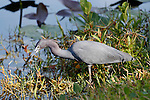 Little Blue Heron, Everglades National Park, Florida
