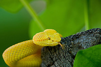 489180018 a captive golden yellow with black flecks eyelash viper bothriechis schlegelii sits coiled on a tree limb species is native to south and central america