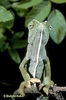 CH05-007z  African Chameleon - portrait - Chameleo senegalensis