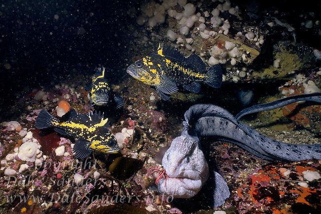 A male Wolf-Eel (Anarrhichthys ocellatus) feeds on a Sea urchin, amid  China Rockfish in Queen Charlotte Strait, British Columbia, Canada.