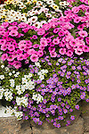 BACOPA, SUTERA CORDATA 'SCOPIA GREAT VIOLET MAGIC', 'SCOPIA GREAT WHITE IMPROVED', AND CALIBRACHOA X PETUNIA 'CALITUNIA PINK'