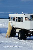 01874-06018 Polar Bear (Ursus maritimus) & Tundra Buggy   Churchill  MB