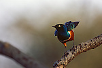 A superb starling perches on a branch on the Serengeti in Tanzania.