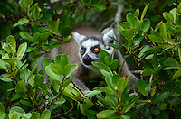 Ring-tailed Lemur (Lemur catta) Madagascar