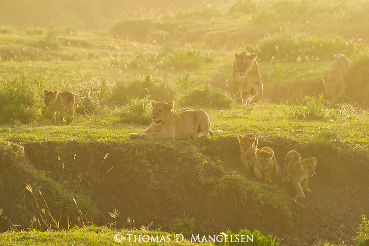 A family of lions backlit by the morning sun walk through the soft grass on the plain in the Ngorongoro Conservation Area in Tanzania.