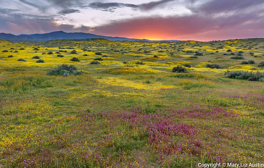 Carrizo Plain National Monument, CA: Colorful sunset clouds with fields of blooming Owls Clover, Monolopia. Goldfields and Fiddlenecks