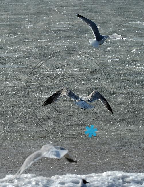 Impressionen aus Larvik - im Bild: Seemöwen Möwen am Larviker Strand.  Foto: Norman Rembarz..Jegliche kommerzielle Nutzung ist honorar- und mehrwertsteuerpflichtig! Persönlichkeitsrechte sind zu wahren. Es wird keine Haftung übernommen bei Verletzung von Rechten Dritter. Autoren-Nennung gem. §13 UrhGes. wird verlangt. Weitergabe an Dritte nur nach  vorheriger Absprache. Online Nutzung ist separat kostenpflichtig.