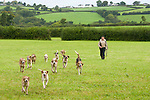 A man walks with his pack of his happy hunting dogs across a field in Wales, the United Kingdom.