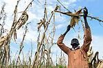 ETHIOPIA, Gambela, village Gog-Dipach, Anuak man harvest maize  / AETHIOPIEN, Gambela, Dorf GOG DIPACH der Ethnie ANUAK, Maisernte bei Farmer Mark Ojulu, seine Felder liegen eine Stunde Fussmarsch vom Dorf entfernt, die einzelnen Gehoefte wurde durch das staatliche villagization Programm zusammengelegt um Land an Investoren zu verpachten