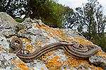 Four-lined Snake (Elaphe quatuorlineata), Cres island, Croatia