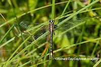 06425-00107 Pronghorn Clubtail (Phanogomphus graslinellus) Washington Co. MO