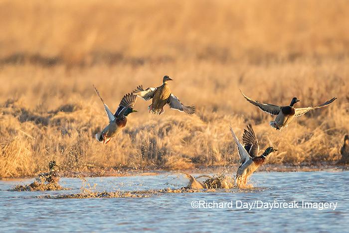 00729-02311 Mallards (Anas platyrhynchos) flying from wetland, Marion Co., IL