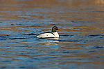 Common merganser swimming in the Chippewa River in northern Wisconsin