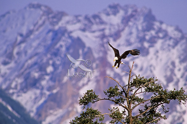 Bald Eagle landing in tree top with Rocky Mountain peaks in background.  May.