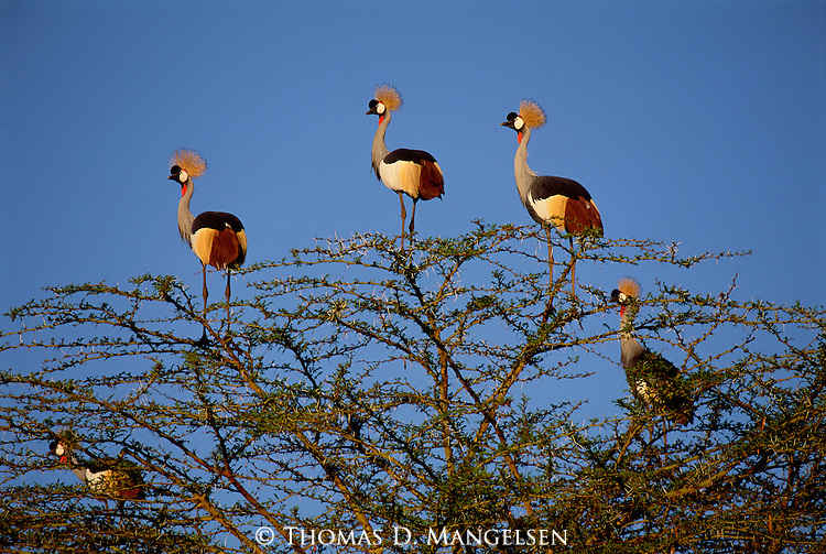 Crowned cranes take shelter from predators at the top of a thorn bush.