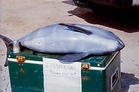 vaquita, Phocoena sinus, critically endangered species, very young individual showing its 'fetal folds'; endemic to the northernmost portion of the Sea of Cortez, Gulf of California, Mexico, Pacific Ocean
