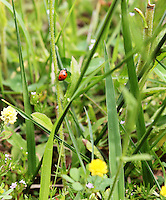 Stock photo of ladybug climbing a tender stem of plant in a grassy field.