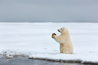 Young polar bear cub stands in the snow along the shore of the Beaufort Sea, barrier Island, Arctic, Alaska.