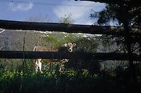 Calf  in meadow. Imst, Austria.