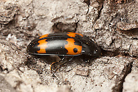 A Pleasing Fungus Beetle (Megalodacne fasciata) explores the bark of a dead and decaying tree.